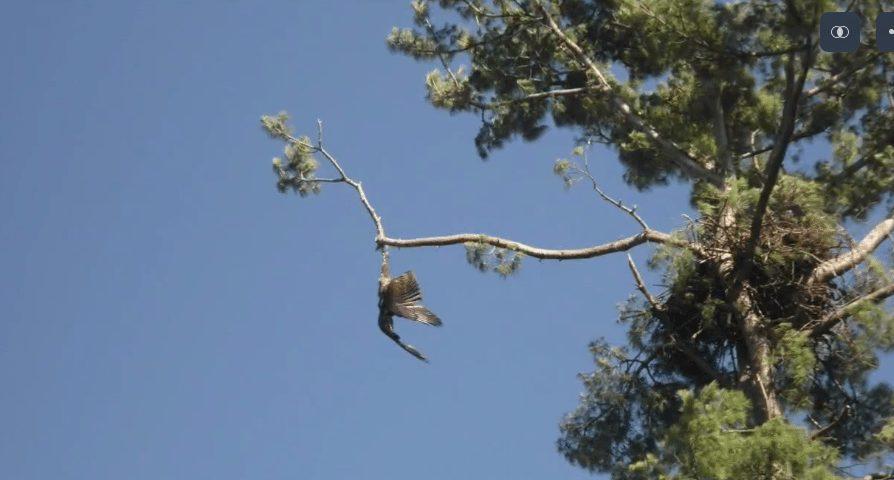 Save bald eagle