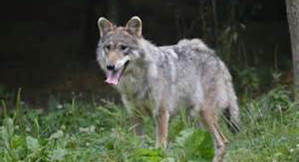 The elimination of a wolf pack in Washington state has re-ignited the debate over management. (Source: publicdomaninpictures.net)