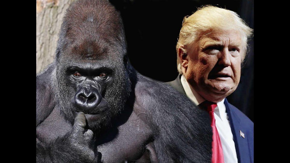 Trump Gorilla Channel
