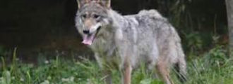 Reports of 'death threats' to wildlife managers over wolf control